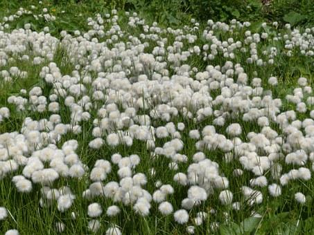 scheuchzers-cottongrass-175412__340