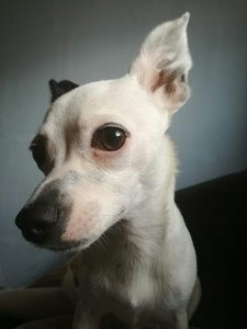 Flocke - Chihuahua Hündin